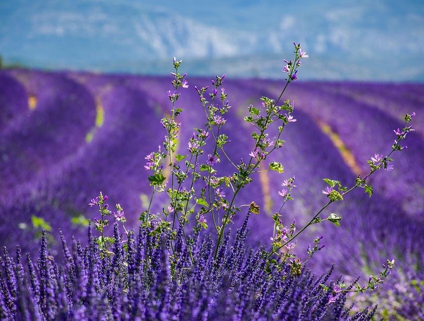 champ de lavande Provence France Europe Voyage