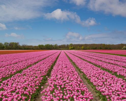 Champs de tulipes Pays Bas Europe Voyage