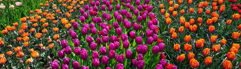 Champs de tulipes Pays-Bas Europe Voyage